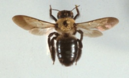 carpenter_bees.jpg